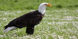 Hela missing Bald Eagle Groombridge Place