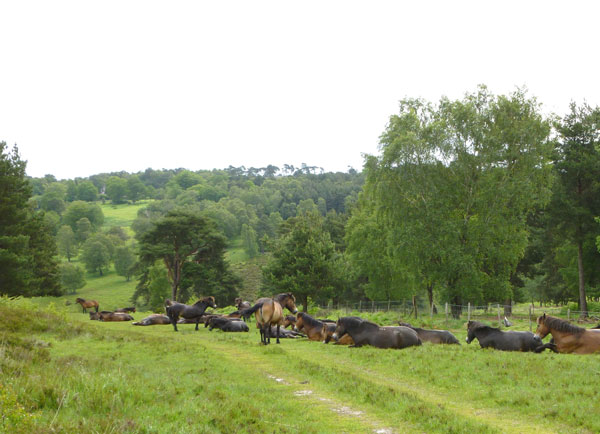 Ponies chilling out on Ashdown, one summer's morning