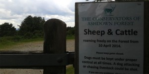Sheep worrying post on gate on the Ashdown Forest